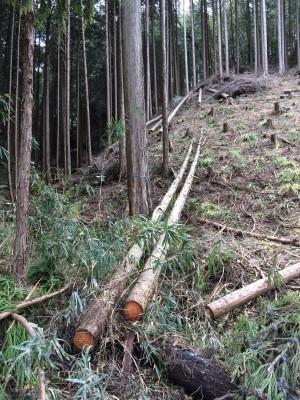 裏山に切り倒されている木